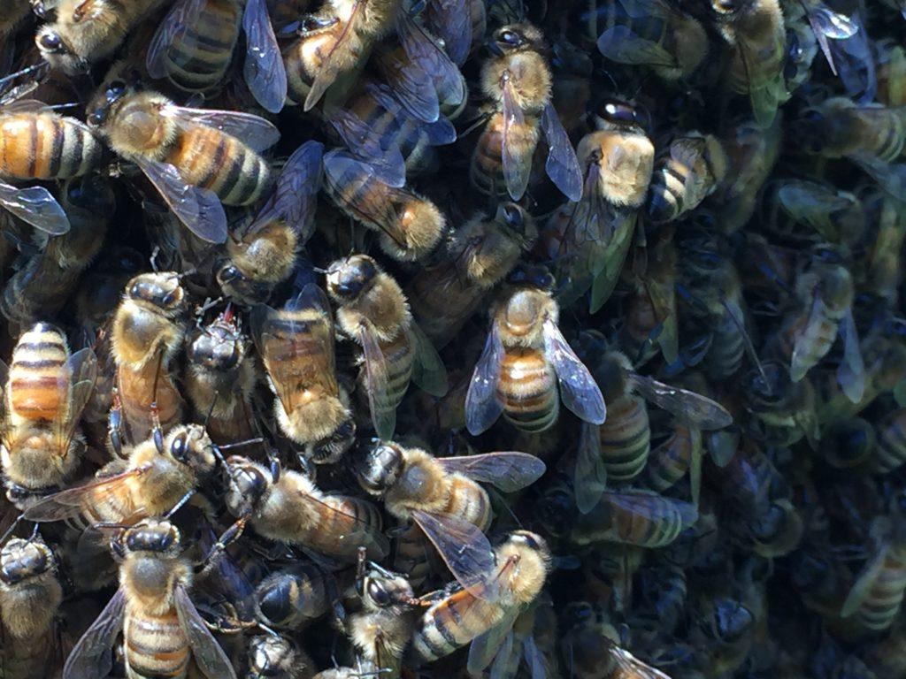 Swarm Bees & Waggle Dance