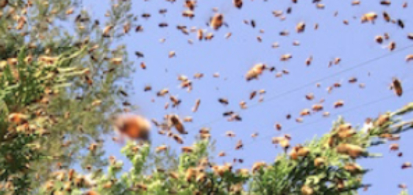 Feral Bees Move Into New Home