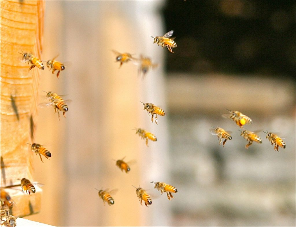 Winter Bees Flying On A Mild WA Day