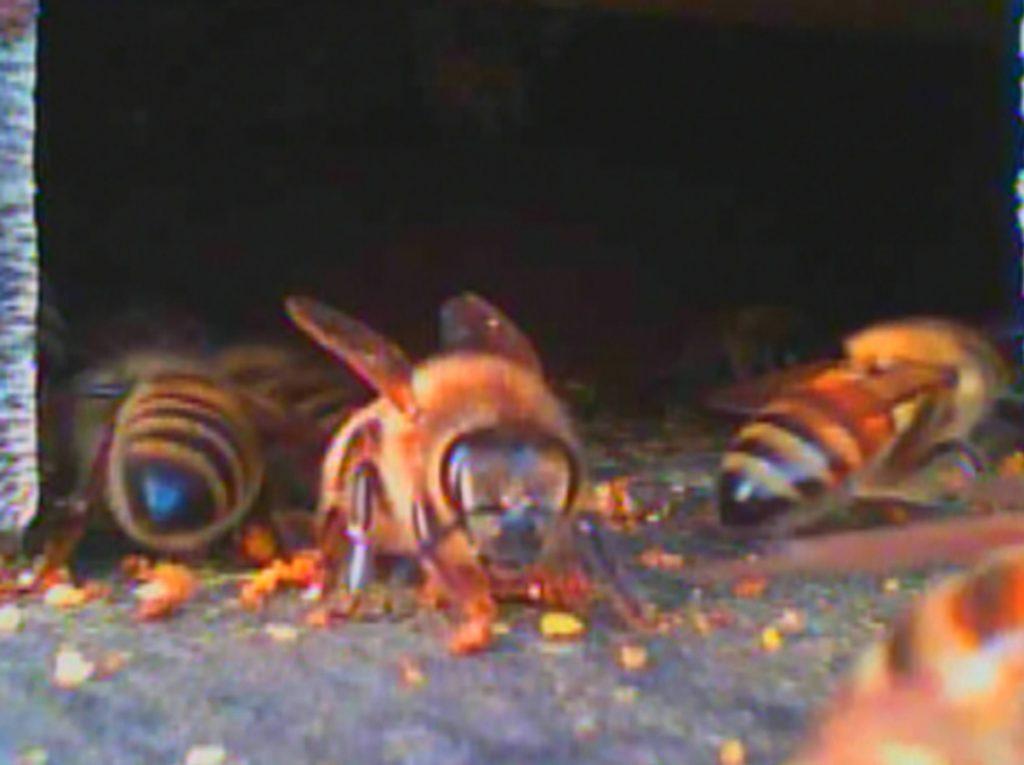 Guard Bees & Yellow Jackets